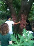 Shaving off koka tree bark for red dye
